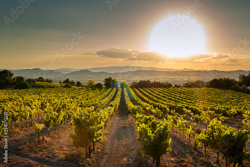 Poster de jardin Europe Méditérranéenne Vineyard at sunset. A plantation of grapevines. Hilly mediterranean landscape, south France, Europe