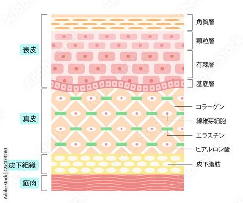 Fototapeta 肌の構造 obraz