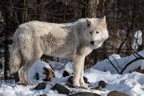 Canvas Prints Wolf Wolf's Attention