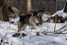 Timber Wolf Running
