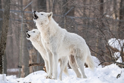 Canvas Print Wolf Song