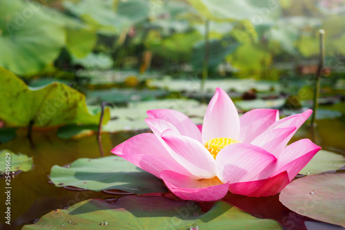 Staande foto Lotusbloem Beautiful pink Lotus flower in nature for background