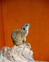 Cute Meerkat Sitting On A Stump