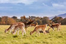 Wild Irish Fauna, A Herd Of Wild Deer Which Roam And Graze In Phoenix Park, Dublin, Ireland