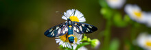 Butterfly Collects Nectar On A...