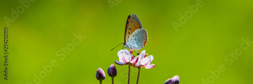 Staande foto Vlinder butterfly collects nectar and pollen from a flower on a blurred green background on a sunny day.