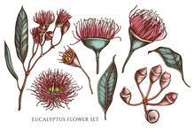 Vector Collection Of Hand Drawn Colored  Eucalyptus Flower