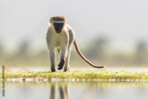 Fotografie, Obraz  Vervet monkey in the wild