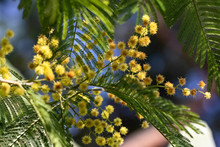Mimosa In Bloom: Symbol Of The...