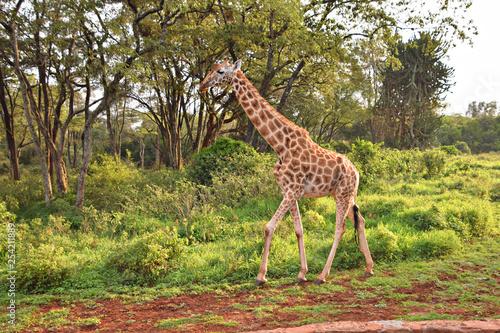 Photo  giraffe in wild