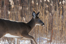 Female White-tailed Deer (Odocoileus Virginianus) In Winter
