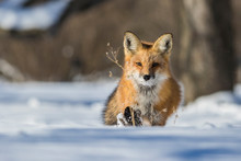 Fox Hunting Squirrels In Winter