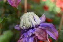 Clematis Waldrebe Kletterpflanze Gartenpflanze Winterhart Diamantina Blau Rosa Gefüllt
