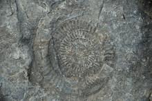 Ammonite At Kilve Beach