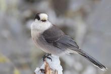 The Grey Jay (Perisoreus Canad...