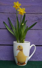 Daffodils In Duck Cup