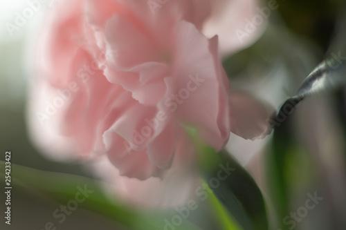 Goździk kwiat jasny róż makro płatek - fototapety na wymiar