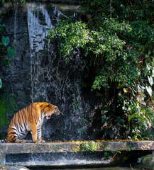 Ryk tygrysa stoi przed wodospadem