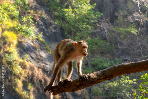 Fotografie, Obraz  Indian Bonnet Macaque in jungle