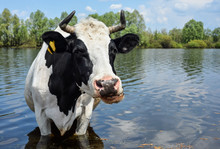 Cow Drinking Water Near Pasture.