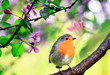 spring natural background with a little cute songbird Robin sitting in the may garden on a branch of a flowering Apple tree with pink bright fragrant buds