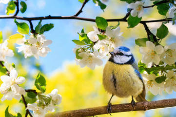 Fototapeta Ptaki spring natural background with little cute bird tit sitting in may garden on a branch of flowering Apple tree with white fragrant buds