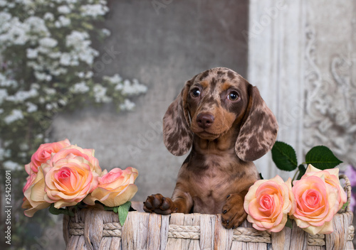 Fotografie, Tablou dachshund puppy brown tan color and tea roses