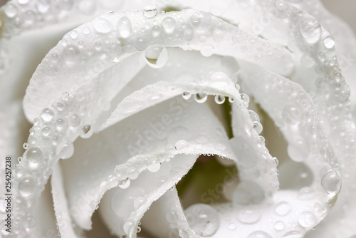 Dew drops on a white rose flower petals abstract background. Canvas Print