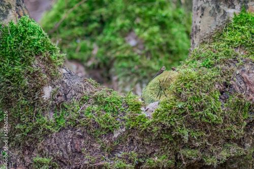 Fotografie, Obraz  mech na drzewie