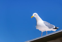 Seagull Looks Seriously