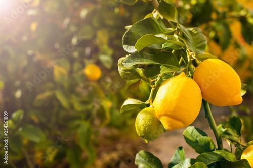 Fotomural  Bunch of fresh ripe lemons on a lemon tree branch in sunny garden