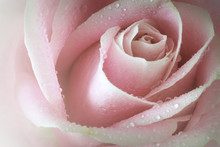Macro Closeup Of A Single Soft Pink Rose With Dewdrops. Vintage Filter Applied