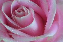 Macro Closeup Of A Single Soft...