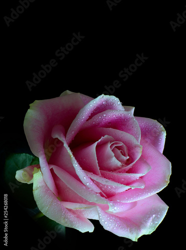 Vertical image of a single pink rose with dewdrops isolated on a black background. Lit from the right side with copy space above