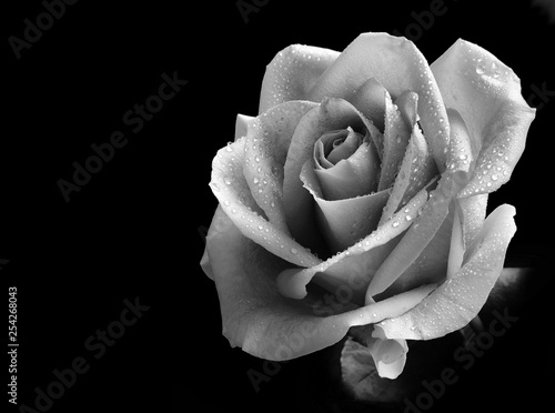 Monotone image of a single rose with dewdrops isolated on a black background. Lit from the right side with copy space on the left.