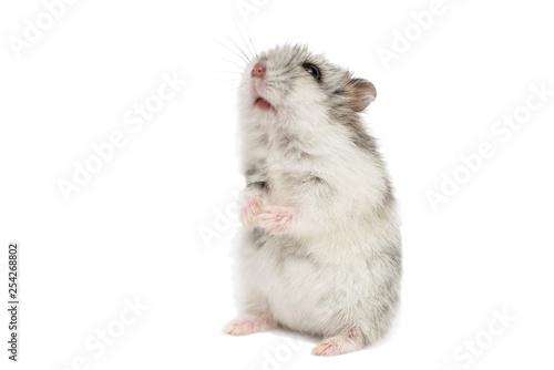 Fototapeta Small domestic hamster isolated on white background