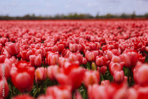 Fotografija Beautiful field with red tulips in the Netherlands in spring