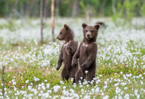 Photo Brown bear cubs playing on the field among white flowers