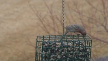 A Male House Finch Eats Seeds ...
