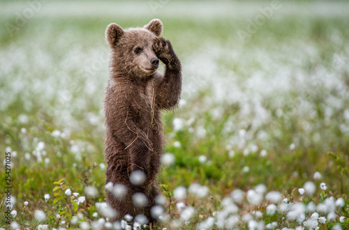 Fotografia Brown bear cub playing on the field among white flowers