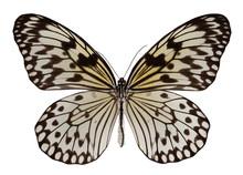 Butterfly Idea Leuconoe Isolated On White Background