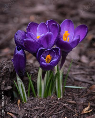 Foto auf AluDibond Krokusse Purple flowers