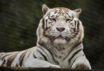 Biały tygrys (Panthera tigris tigris).