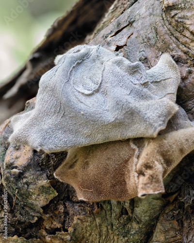 Photo Close-up of Tripe fungus (Auricularia mesenterica) growing on a tree trunk - app