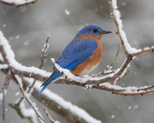 bluebird in the snow Tapéta, Fotótapéta