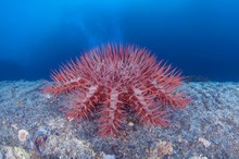 Thorns Sea Star (Acanthaster Planci), Starfish Produces A Cloud Of Sperm, Red Sea, Egypt, Africa