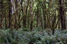 Vegetation With Ferns On Kestner Homestead Trail, Quinault Rainforest, Near Quinault, Olympic National Park, Washington, USA, North America