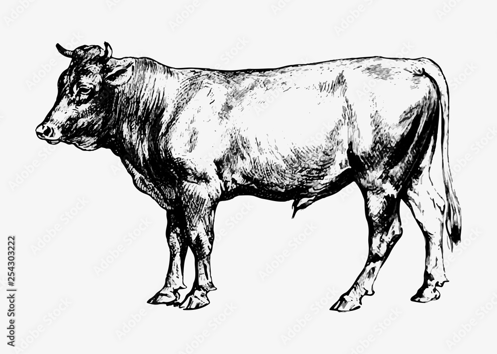 Fototapeta Bull vintage drawing