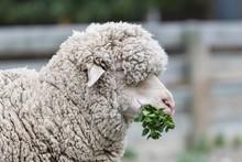 Merino Sheep Feeding On Nettle...