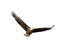 American Bald Eagle With Spread Wings Isolated On White Background